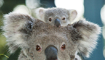 Billabong Koala and Wildlife Park - Accommodation Melbourne