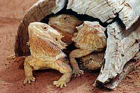 Alice Springs Reptile Centre - Accommodation Melbourne