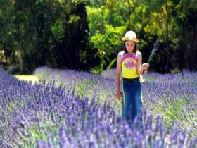 Brayfield Park Lavender Farm - Accommodation Melbourne