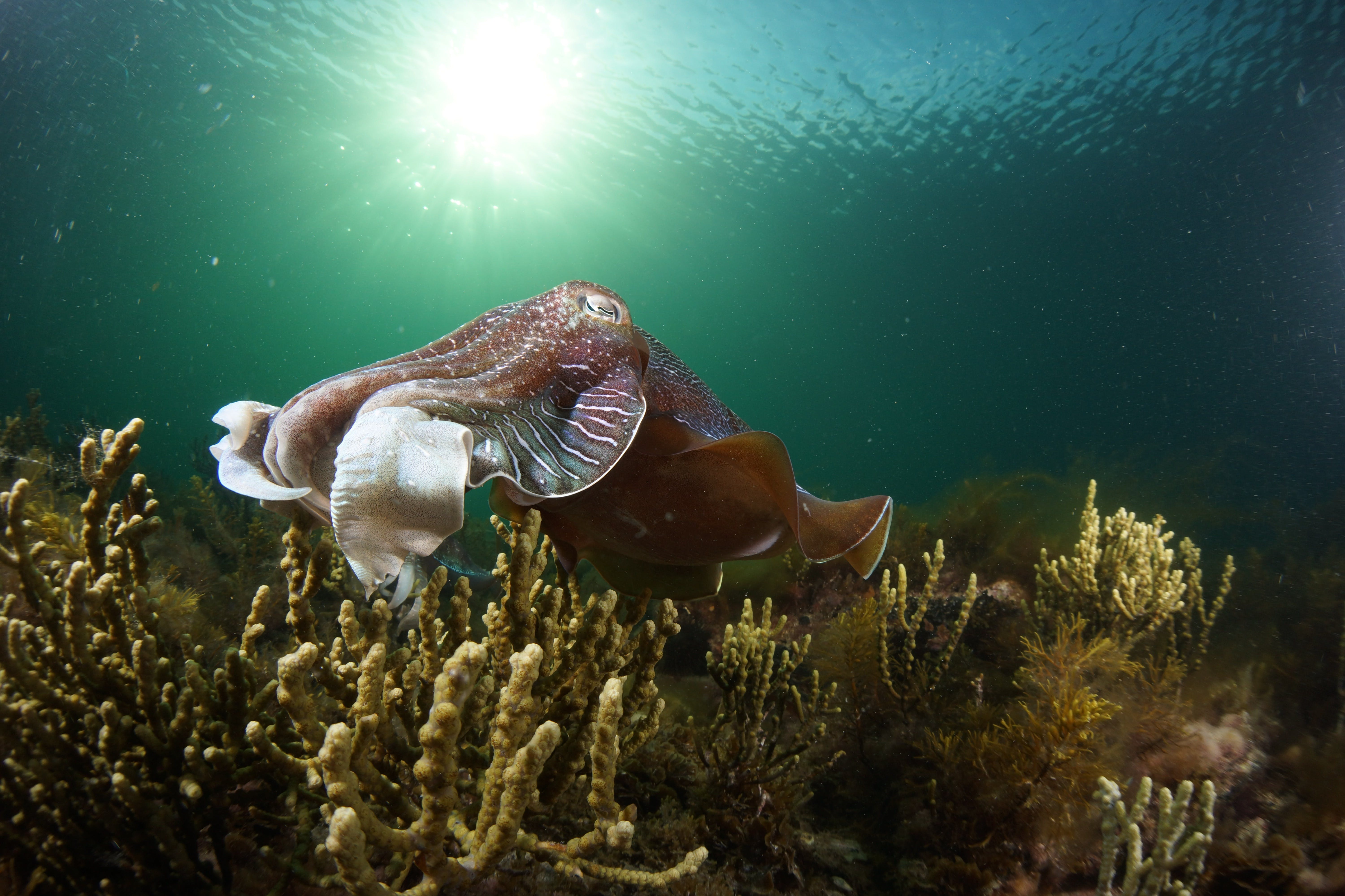 Cuttlefish Diving  Snorkeling EVERYDAY May -August - Accommodation Melbourne